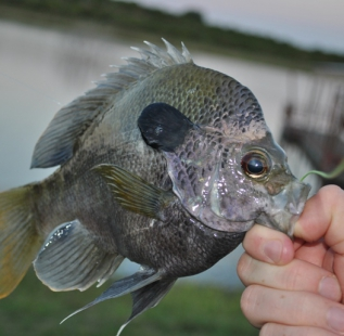 Another nice Blue Gill caught by Jonathan Allred at Cleburne Six O Ranch